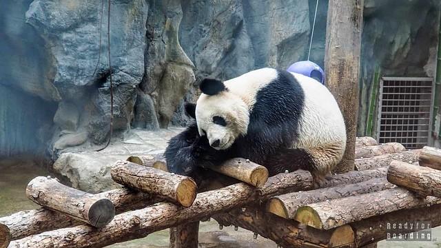 Panda w Zoo w Pekinie, Chiny