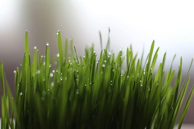 Can I Put Wheatgrass In A Blender - Bill Lentis Media