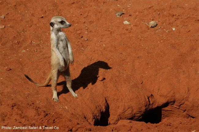 Safari encounter: a meerkat in the kalahari