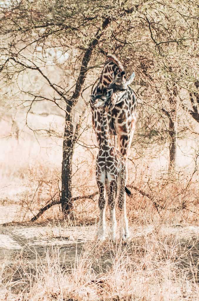 Giraffe Tansania mit Baby Giraffe