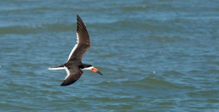 Bird flying over ocean. Charleston dolphin tours