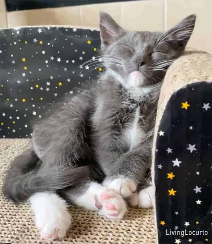 Living Locurto Rescue Kitten Oliver