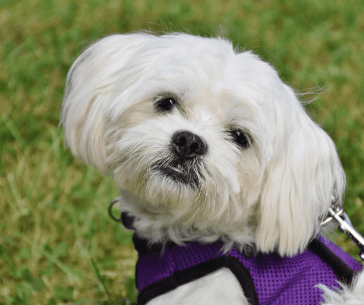 You can improve maltese dog life expectancy
