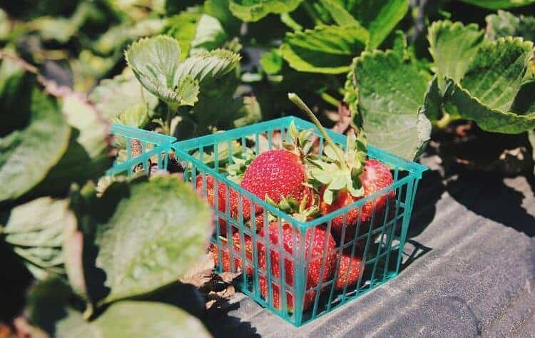 How to Grow Strawberries in Alabama