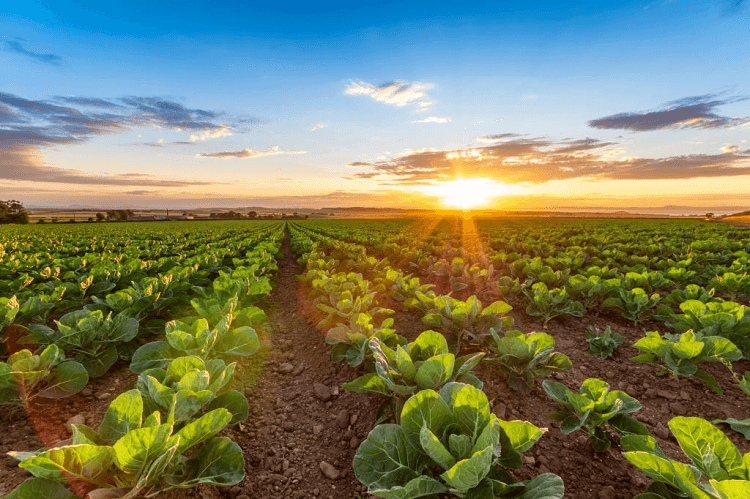 planting cabbage in alabama
