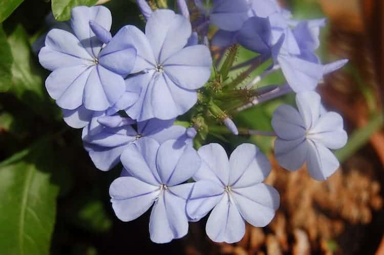 How to Care for Blue Plumbago Plant