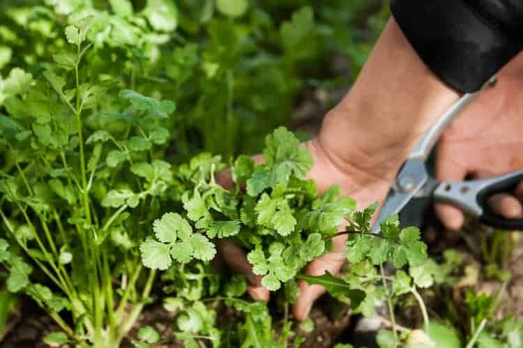How To Harvest Cilantro Without Killing The Plant