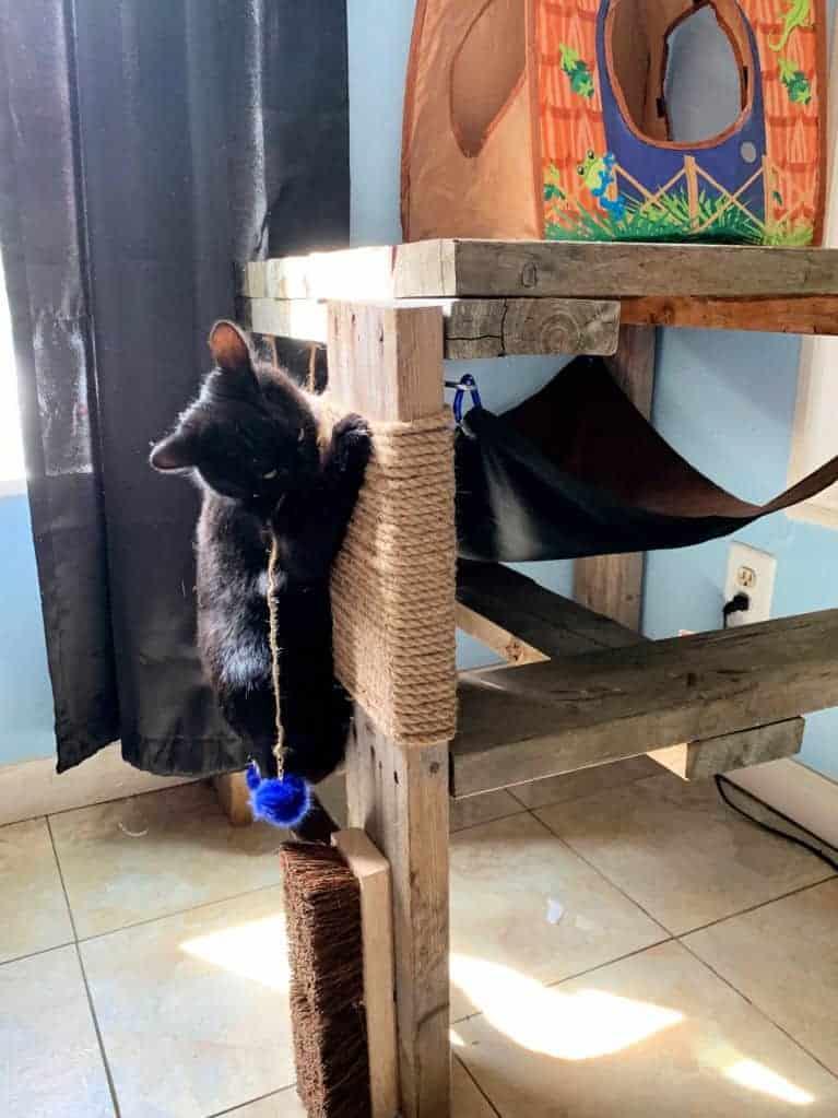 Cat climbing up cat hammock and condo.