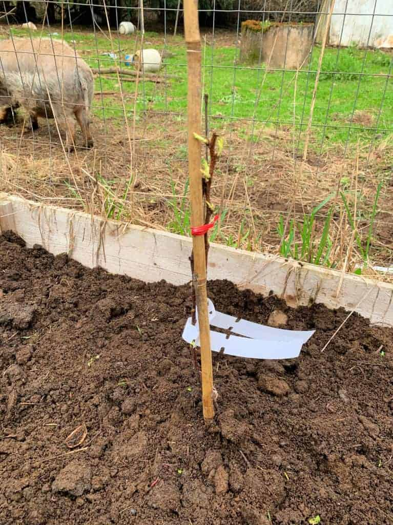 raspberry plant in the soil