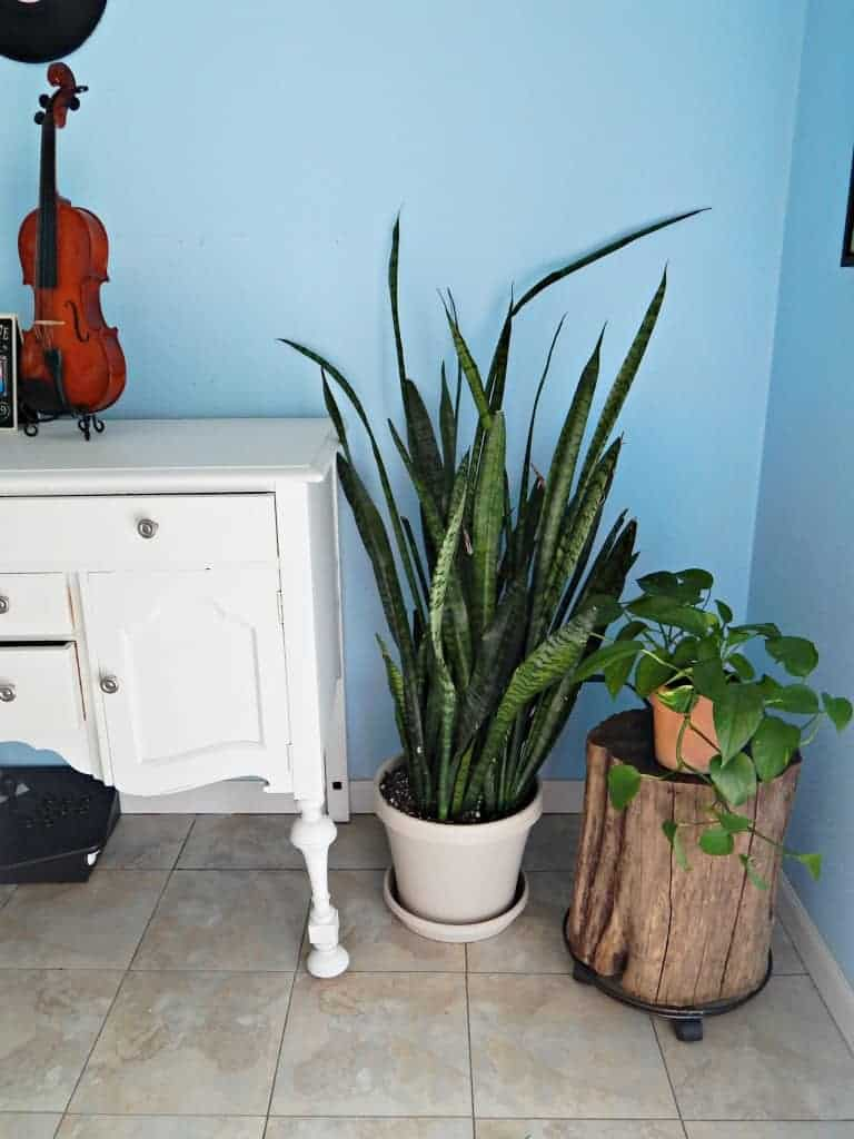 snake plant in dining room