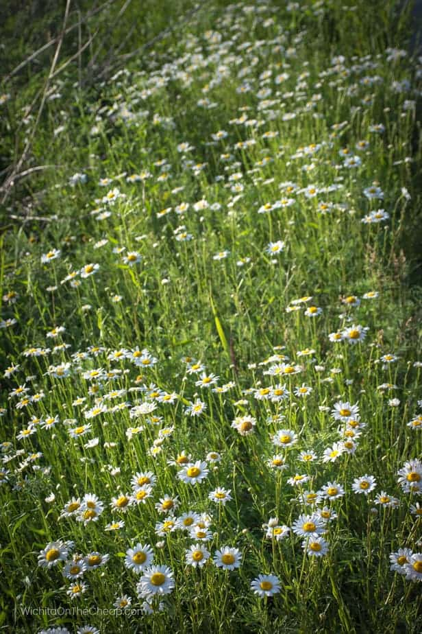 daisies at the Schrumpf Hill Scenic Overlook on Highway 177, Flint Hills Scenic Byway in Kansas