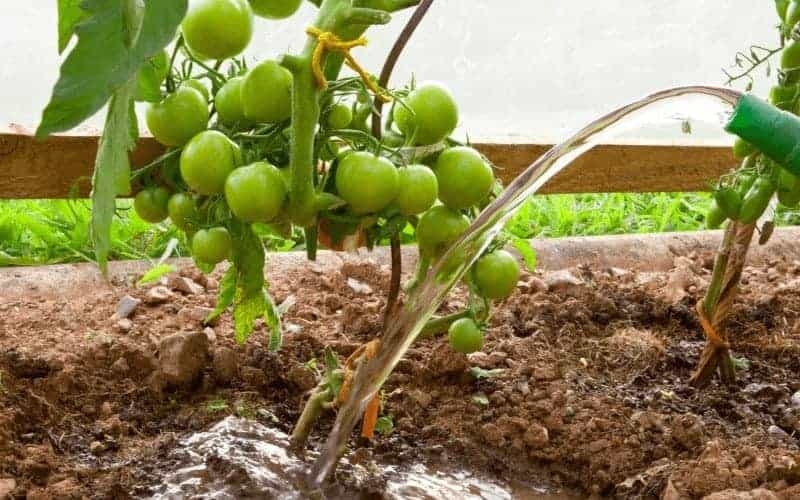 How Often Should You Water Tomatoes in A Raised Bed