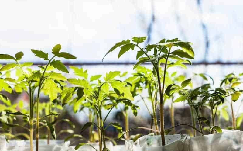 Light Requirement for Tomato Growth