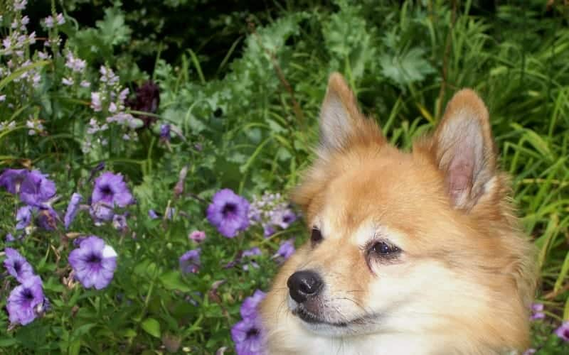 Are Petunias Poisonous to Dogs