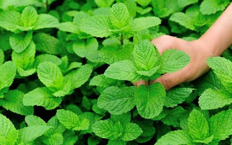 How To Harvest Mint Without Killing The Plant