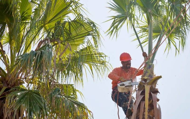 When Should You Trim Palm Tree Trunk