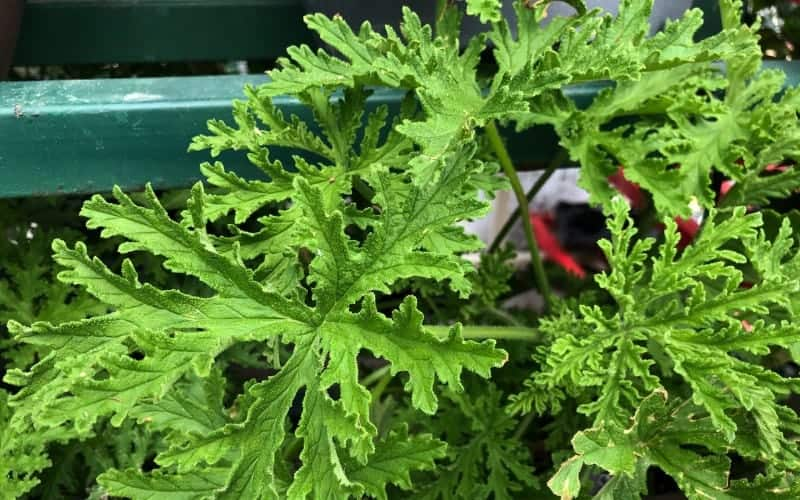 Caring and Watering Citronella Plant