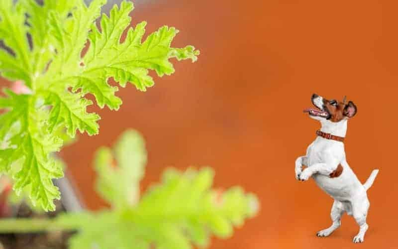 Is Citronella Plant Toxic to Dogs