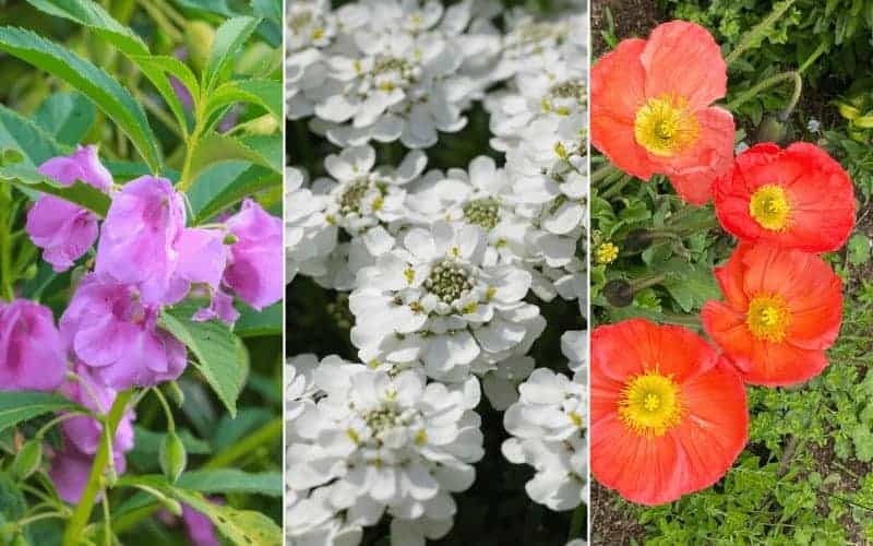 Flowers That Start With I