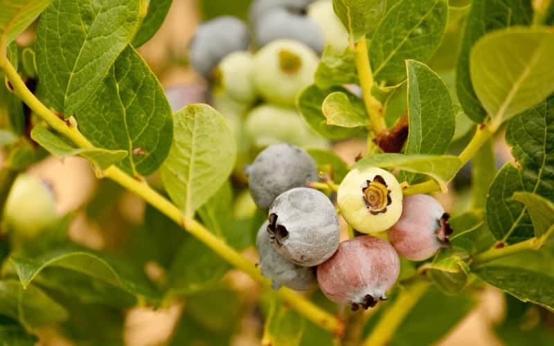 How Can you Tell if Your Blueberry Plant is Dying
