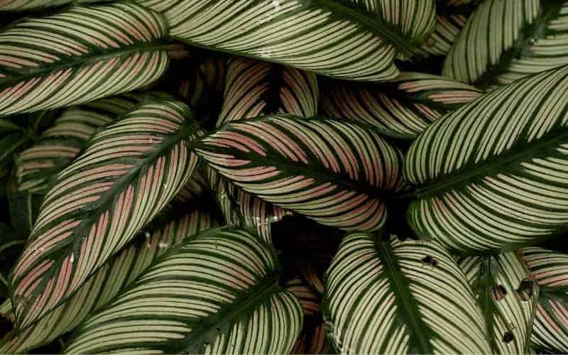 How to Save a Dying Calathea Plant