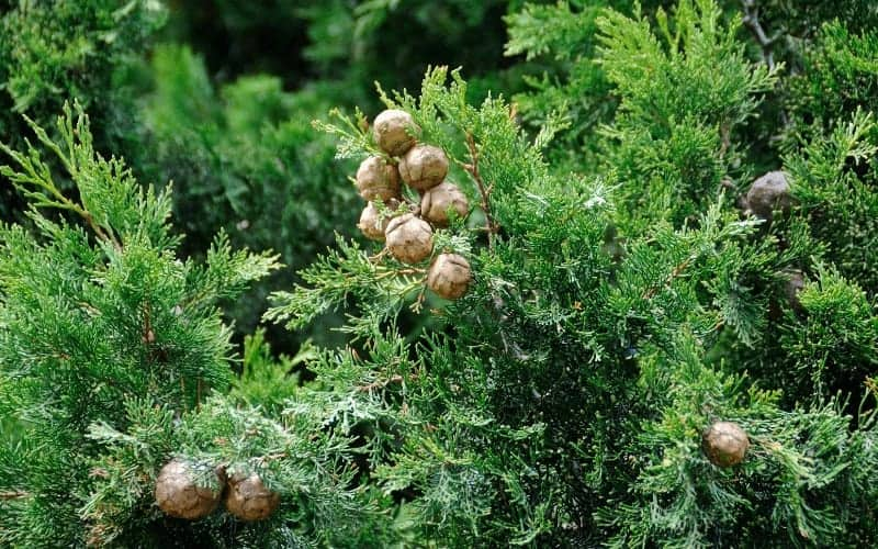What Are Coniferous Trees