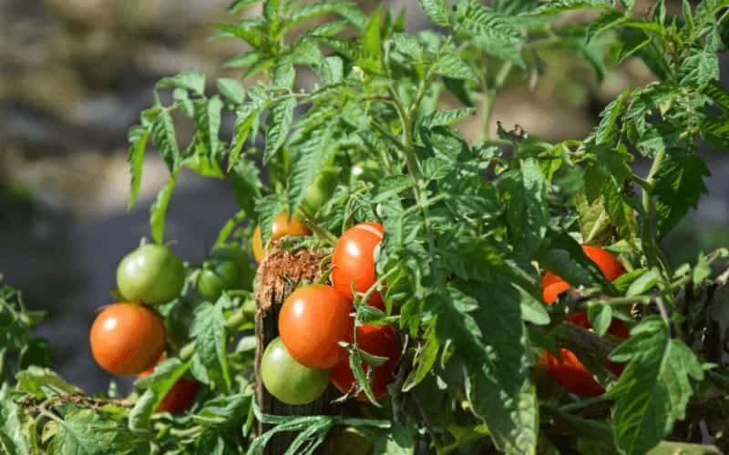 How To Save a Wilted Tomato Plant