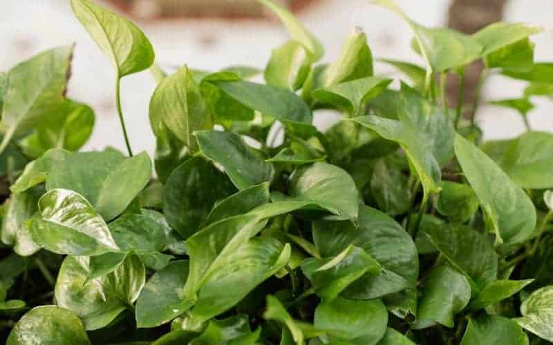 How to Save a Dying Pothos Plant
