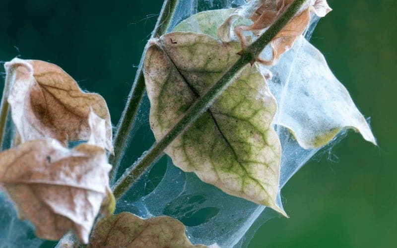 How To Get Rid Of Spider Mites On Hibiscus