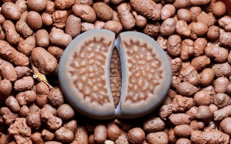 Types of Lithops