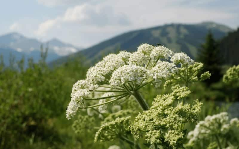 Carrot Flowers Vs Queen Anne's Lace