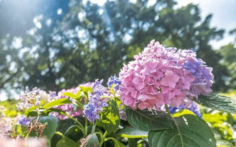 Is coffee grounds good for Hydrangeas