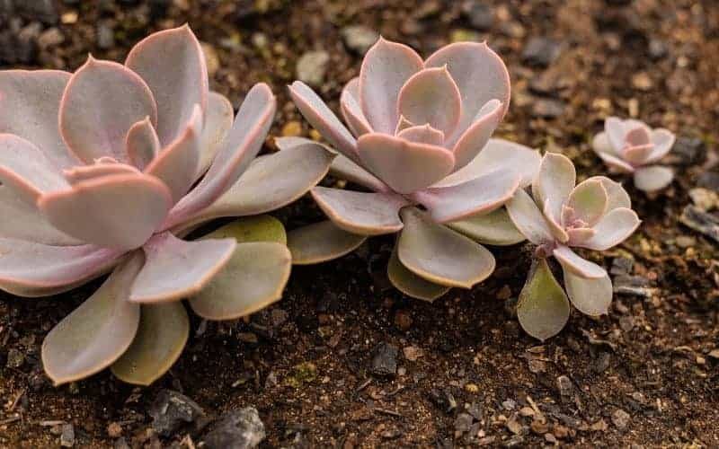 What Makes Coffee Grounds Good For Succulents