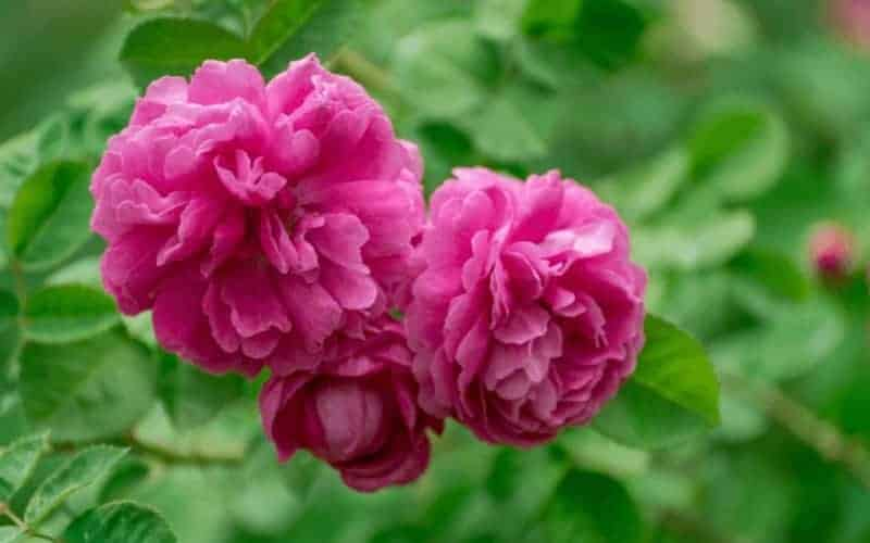 is coffee ground good for rose plant