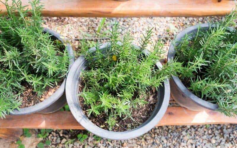 How Often Should I Water Potted Rosemary