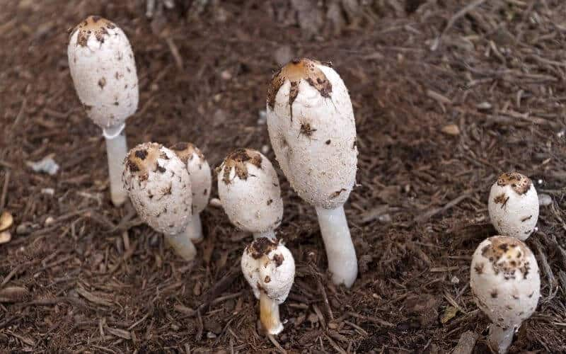 What Kind of Mushrooms Grow in Mulch