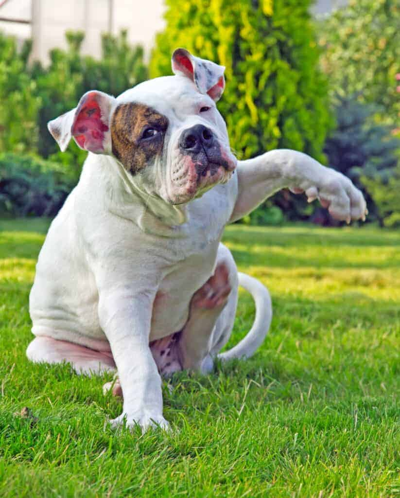 This dog could use a safe Zyrtec dosage for dogs to stop that itch.