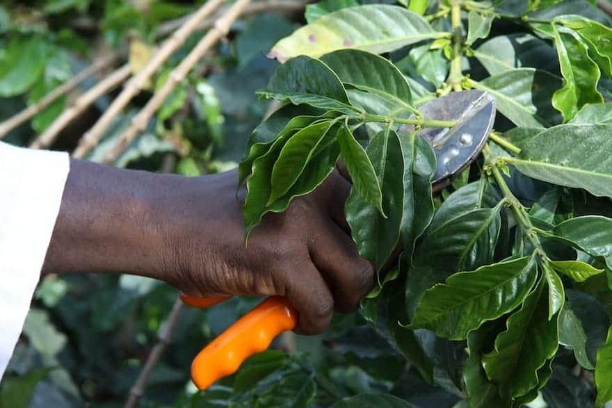 A farmer's hand pruning a coffee bush branch