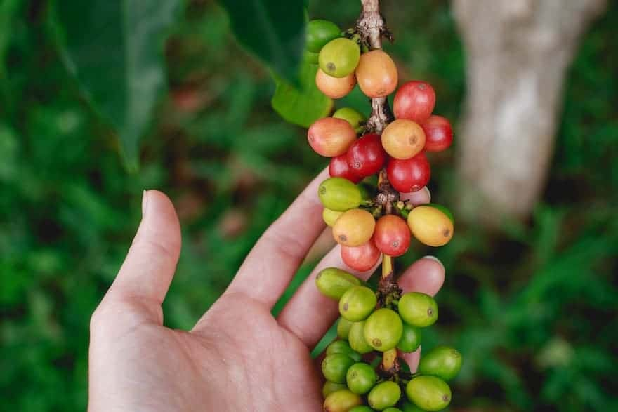 Hand holding coffee cherries still on the branch