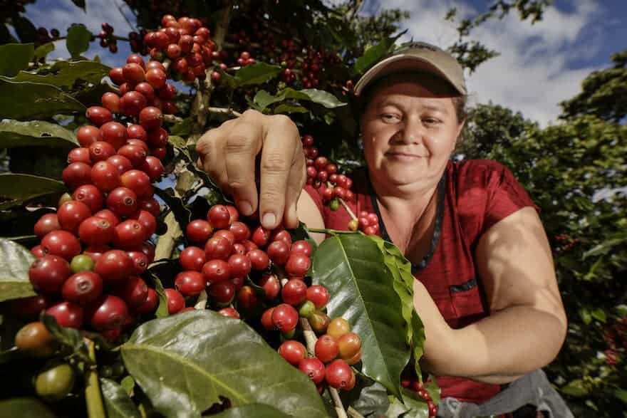 Daisy del Carmen Reyes of San Carlos II Cooperative checks out a plant loaded with mature coffee beans in Oscicala, Morazan, El Salvador.