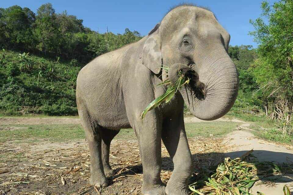 Elephant in a sanctuary in Thailand