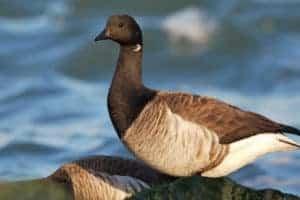 Eelgrass Restoration Brings Long-Lost Goose Species Back to Va.'s Eastern Shore