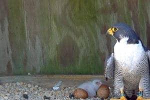 Richmond's Peregrine Falcon Cam Begins Dramatic New Nesting Season