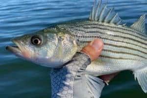 Md. Rockfish Limits Set, Including July Closure