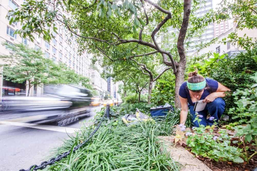 Our field site on Broadway in New York. Collaborator Amy Savage is setting up an experiment on ant diet preferences. (photo: Lauren Nichols)