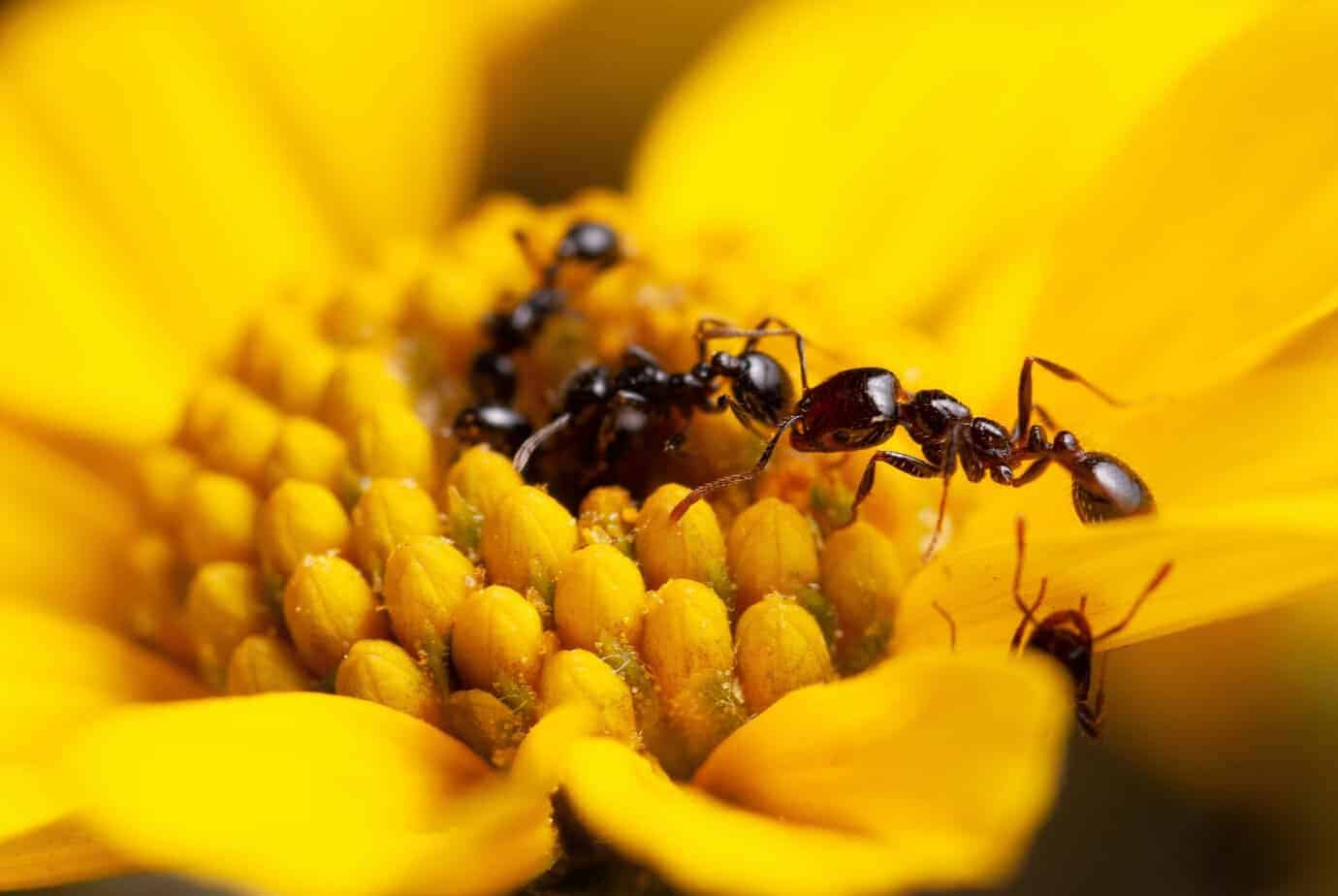 Fire ants produce the most potent antimicrobials identified to date in ants and other social insects.