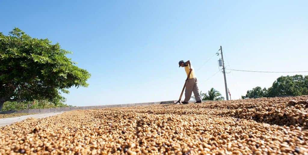 Man raking coffee cherries in the sun