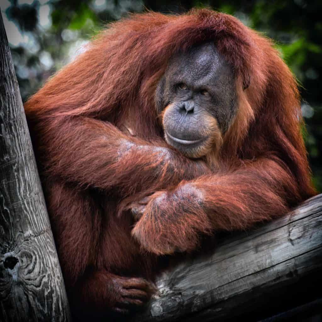 orangutang-tree-pose