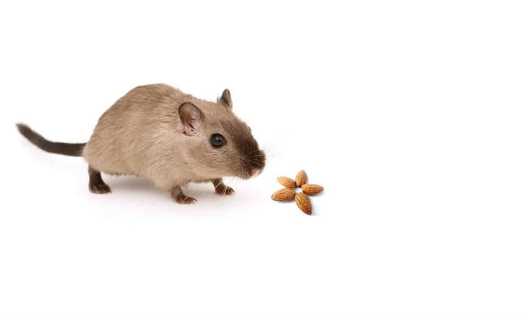 Can Gerbils Eat Almonds