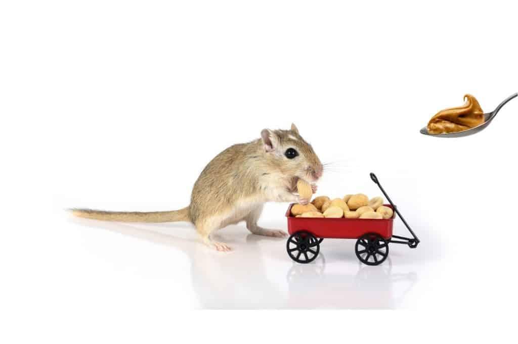 Can Gerbils Eat Peanut Butter